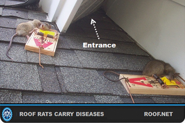 Have your attic checked for roof rats in Virginia