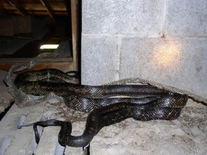 Image of a Tile Roof Repair and Snakes in Virginia