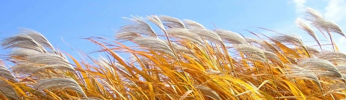 Wheat field blown by wind